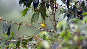 yellow_warbler_coffeeplant