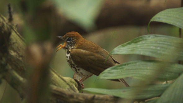 CostaRica_Woodthrush_tongue