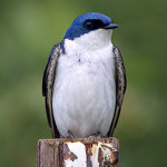 TBOT-tree-swallow-icon-300x
