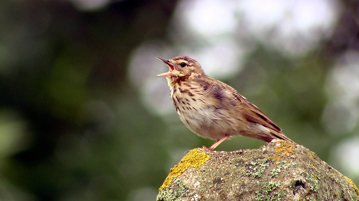 Common_linnet_sings_web
