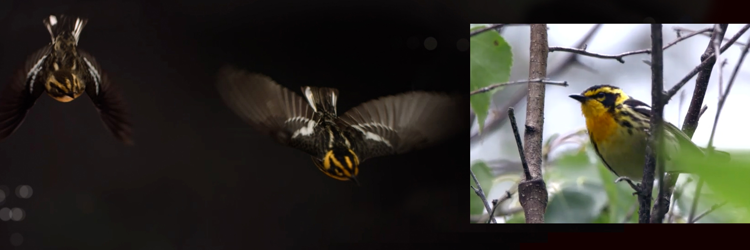 Blackburnian warblers are small forest songbirds. They measure from 11 to 13 cm (4.3 to 5.1 in) long, with a 20 to 22 cm (7.9 to 8.7 in) wingspan, and weigh 8 to 13 g (0.28 to 0.46 oz). This warbler is photographed by The Messenger crew in emulated night flight at the University of Western Ontario's Advanced Facility for Avian Research (AFAR) (left) and in the Boreal Forest (right).
