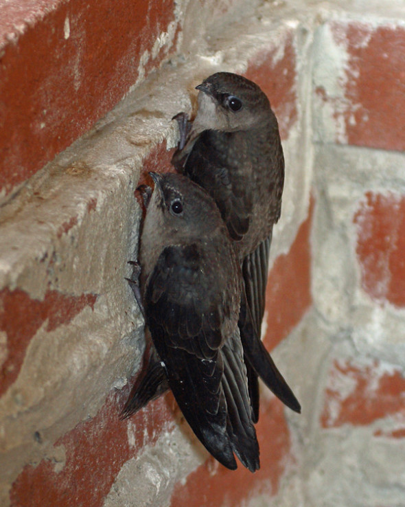 Chimney-Swifts